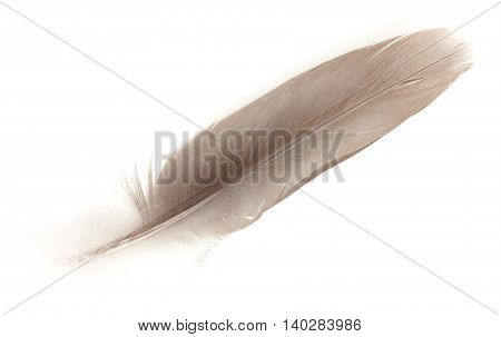 Feather Dove Color, Isolated On White Background. Close-up.