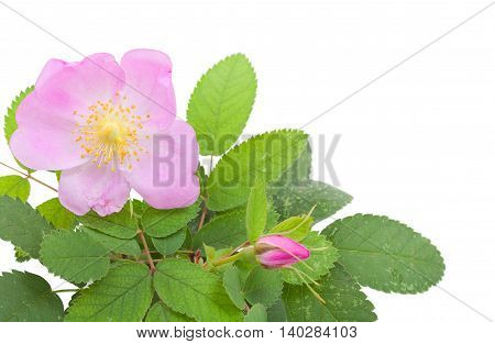 Branch Of Dog Rose With Leaves, Flower And  One Bud. Isolated On White Background. Close-up.