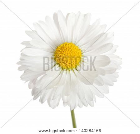 Flower Of White Daisy, Marguerite Isolated On A White, Close-up.