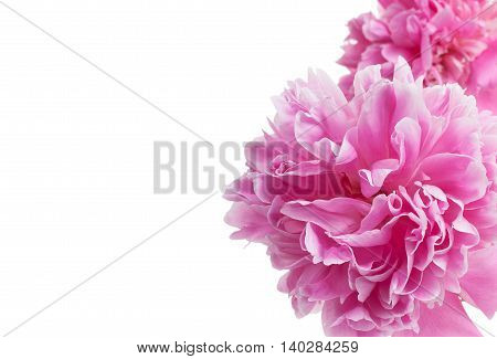 Flowers Of Red Peony Isolated On A White Background Whith Empty Space For Your Text