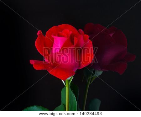 Beautiful Red Rose, Mirror Reflection On Black Background.