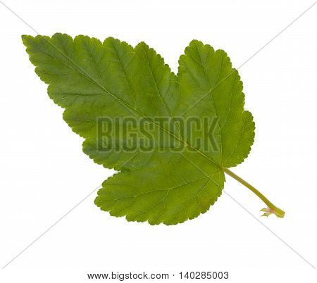 Green leaf isolated on a white background, close-up.