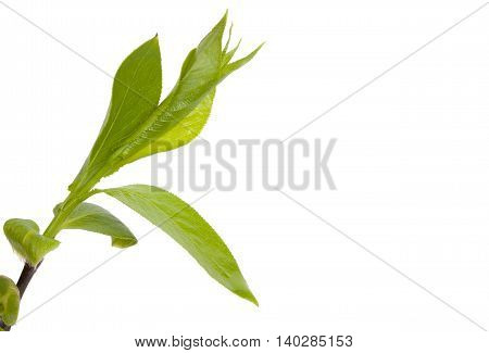 Green Branch, Young Sproutss With Leaves, Isolated On White Background And An Empty Place For Your T