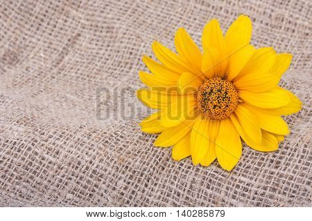 Orange Osteospermum Daisy Or Cape Daisy Flower On Decorative Tablecloth, On Sacking Background. Clos