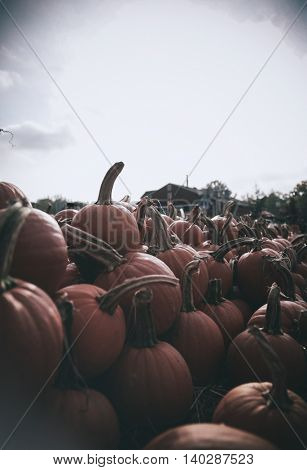 pile of Halloween pumpkins on a farm  toned with a retro vintage instagram filter app or action with vignette