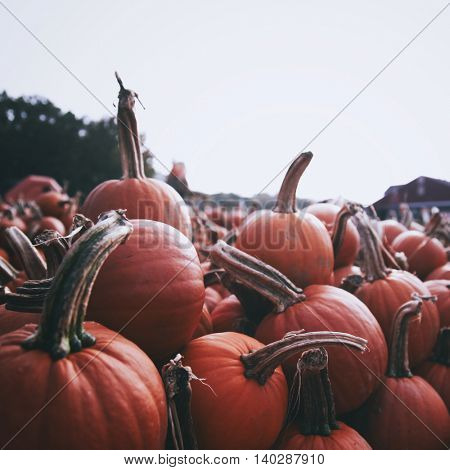 pile of Halloween pumpkins on a farm toned with a retro vintage instagram filter app or action