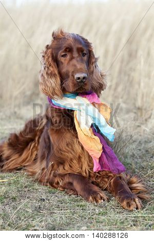 Funny Irish Setter dog looking with scarf