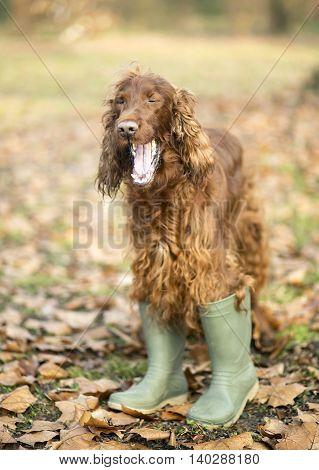 Funny Irish Setter dog yawning in green boots