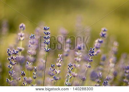 Details of beautiful purple herbal lavender field