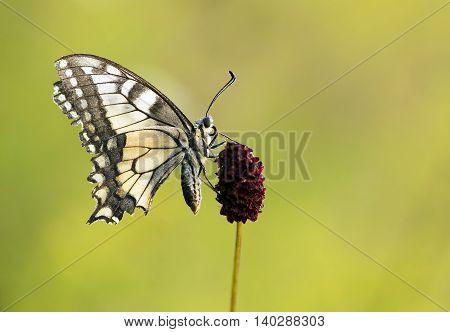 Swallowtail butterfly sitting on a purple flower