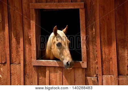 A blonde horse pokes her head through an open window of an old barn.