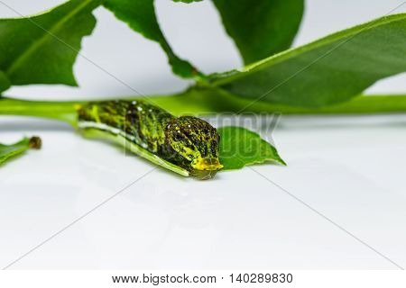 Caterpillar Of The Burmese Raven Butterfly ( Papilio Mahadeva )