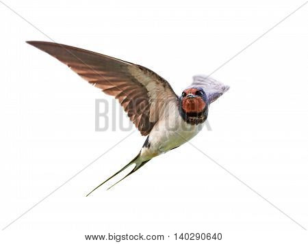 Barn swallow (Hirundo rustica) in flight isolated on a white background
