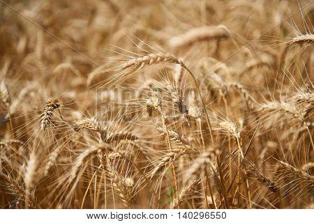 wheat field closeup, beautiful summer landscape