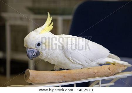 Cockatoo On Playstand
