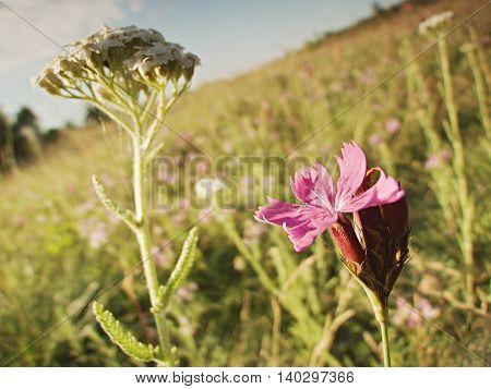morning photo of purple flower on a hill Bystricky vrch near the town Kadan in czech republic