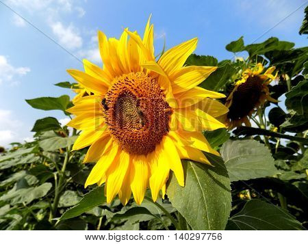 Sunflower on field in summer during sunny day