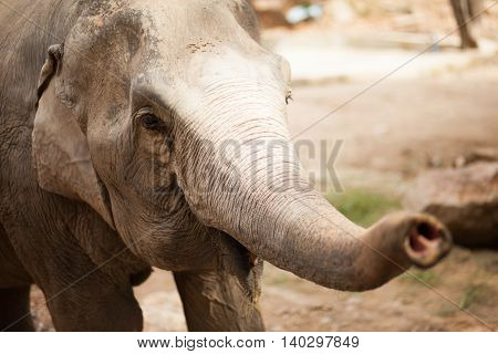elephant holds a trunk forward. close - up