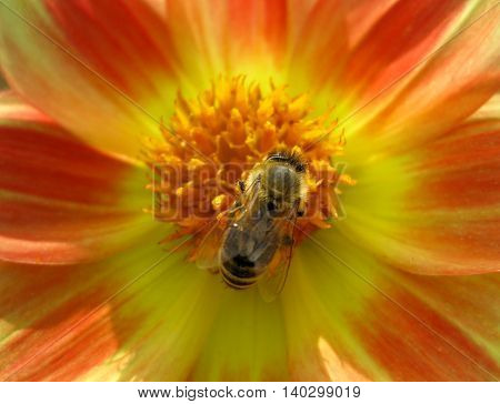 Busy bee on a yellow orange flower