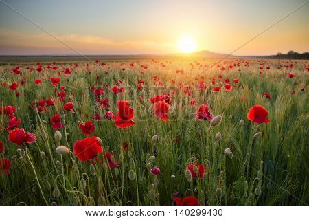 quiet sunset among a red poppy field,