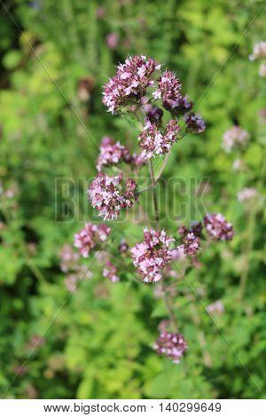 Oregano (Origanum vulgare) - perennial herbaceous plants, medicinal, ornamental and spice