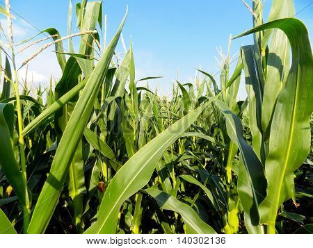Many corn crops on field during summer