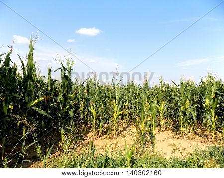Many corn crops on field during day