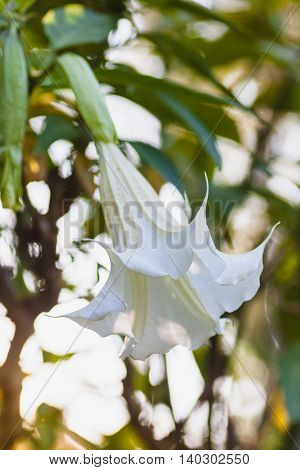 Blooming white Datura also known as devils trumpets