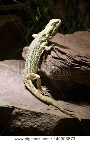 Grey lizard stands near the natural stone in an artificial environment with contrasting light. Vertical view.