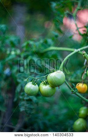 Tomato seedling, Sweden. Unripe tomatoes in the garden