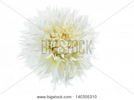 Fancy white dahlia on a white background.
