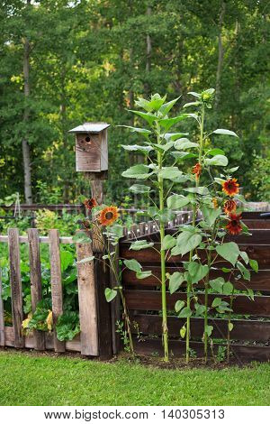 Birdhouse and sunflowers in a country garden.