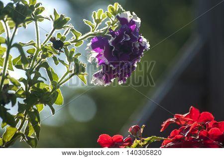 Geranium purple flower closeup shot against backlight