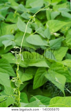 Curl bean plants with flowers on the farm