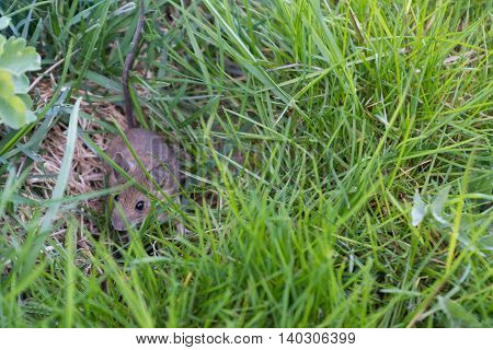 young gray house mouse in the grass