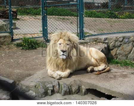 Beautiful lion facing the camera while resting in the sun