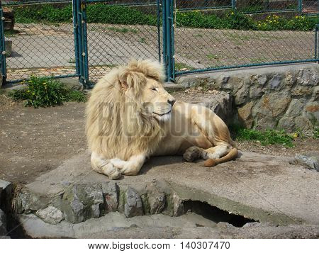 Beautiful lion resting in the sun. Looking calm and peaceful.