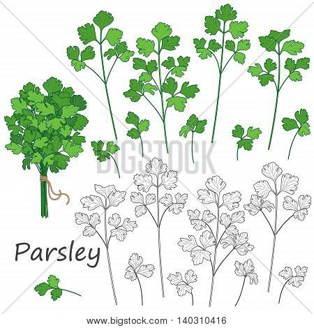Set of outlined and green twigs of parsley isolated on white. Bundle of flavoring herbs tied with string.