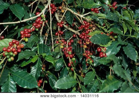 unpicked coffee beans on bush wide orientation