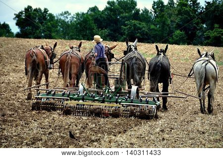 Ronks Pennsylvania - June 6 2015: An Amish youth tilling a field with a team of six horses on the family farm