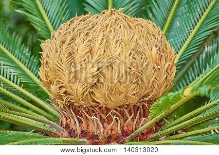 Female Reproductive Structure of Japanese Sago Palm