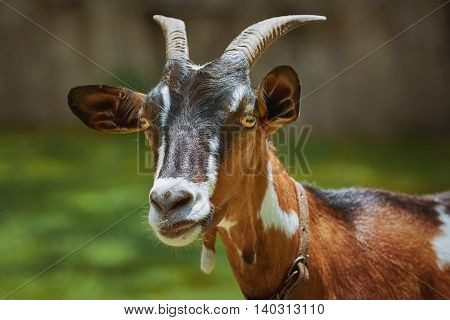 Portrait of Nanny Goat against the Dark Background