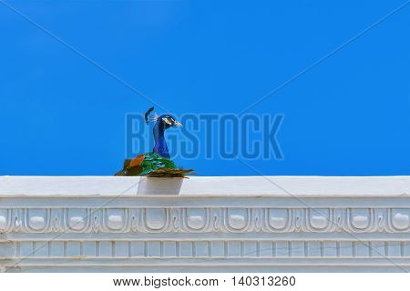 Peacock Sitting at the Top of Entablement