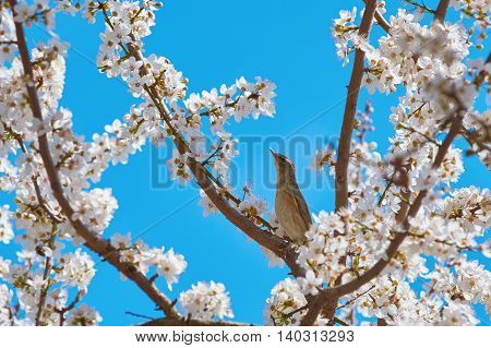 Spotted Flycatcher (Muscicapa Striata) among the Sakura Flowers