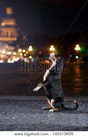 Entlebucher Mountain Dog Sennenhund walks on a night city