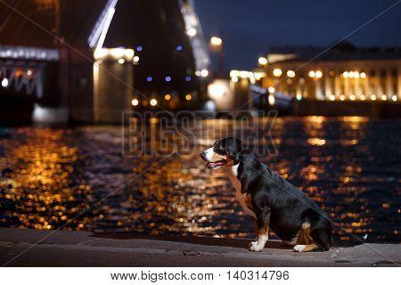 Entlebucher Mountain Dog, Sennenhund Walks On A Night