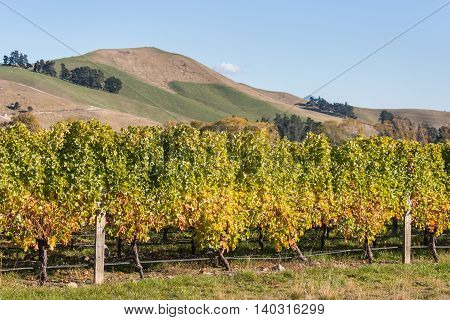 Wither Hills vineyards in New Zealand in autumn
