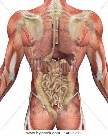 Male Torso With Muscles And Organs - Back View