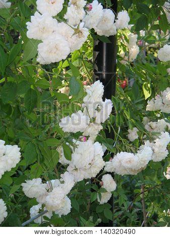 Flores  blancas en el Jardín de La  Rosaleda. Zaragoza.