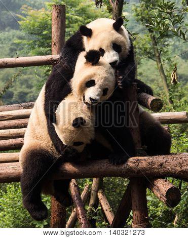 Panda triplets hugging on a bamboo platform